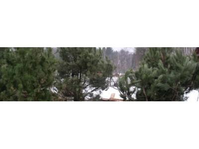 Зимние посадки крупномерных деревьев