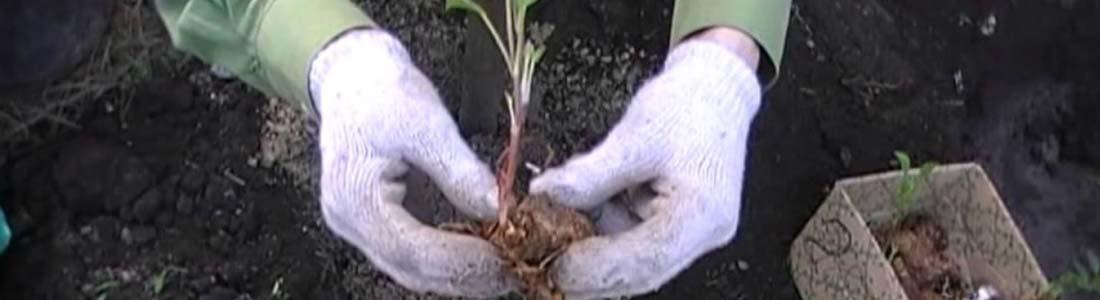 Особенности выращивания георгинов
