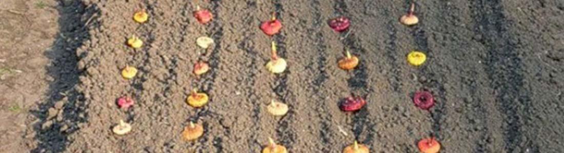 Гладиолусы: посадка и уход в открытом грунте
