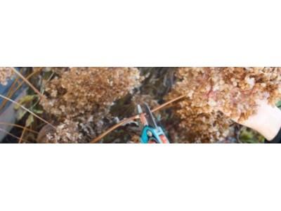 Обрезка гортензии метельчатой осенью — основное правило ухода за растением
