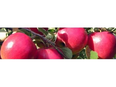 Секреты выращивания яблони