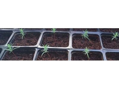 Кипарис: выращивание из семян