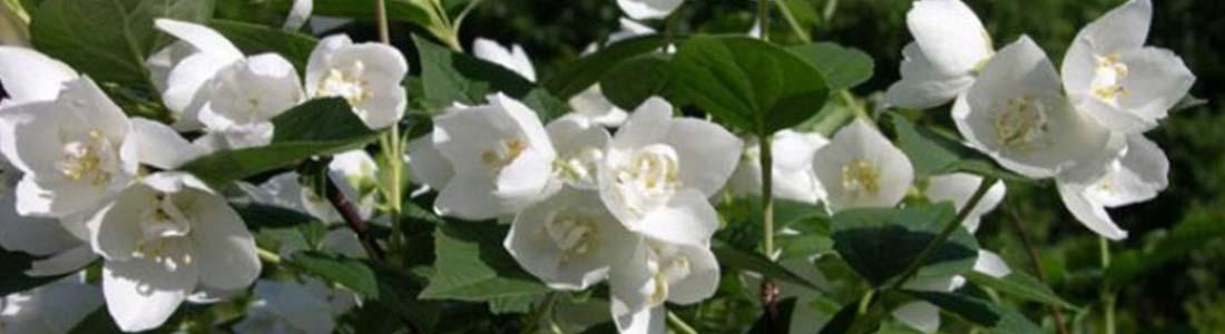 Уход за садовым жасмином